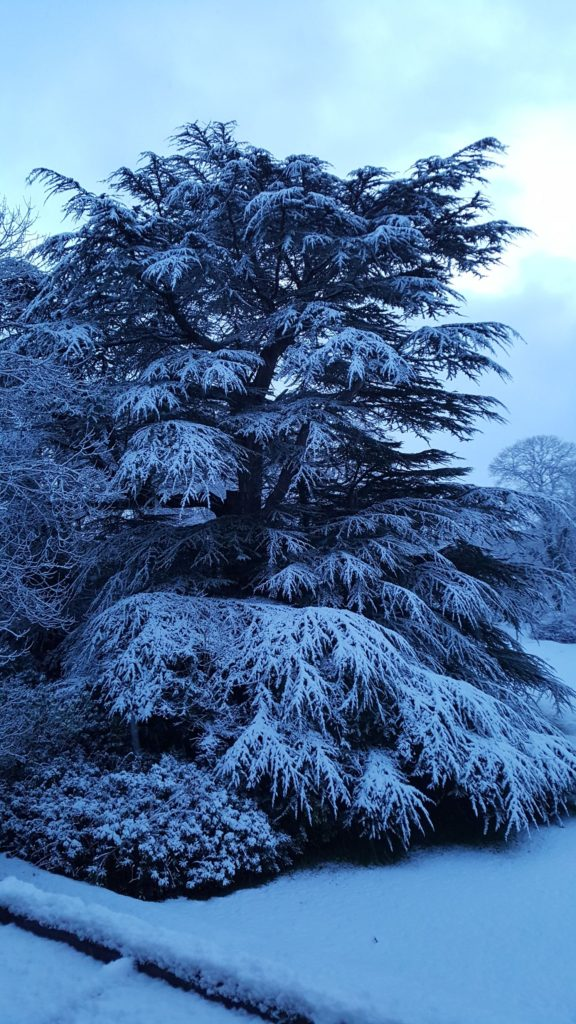 Cedar of Lebanon-Corravahan-Dec 2017_20171208_081606